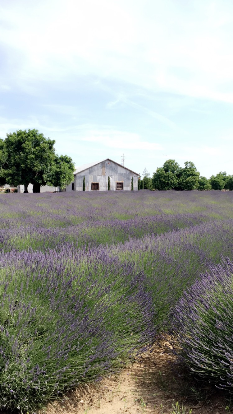 The Farmer's Wife Co. Lavender Field