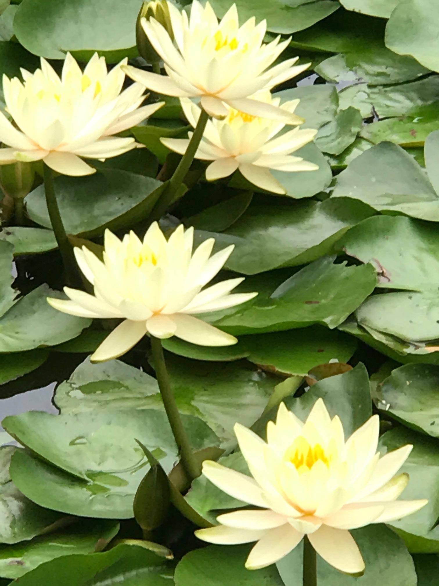 Water Lillies at Meiji Jingu Inner Garden