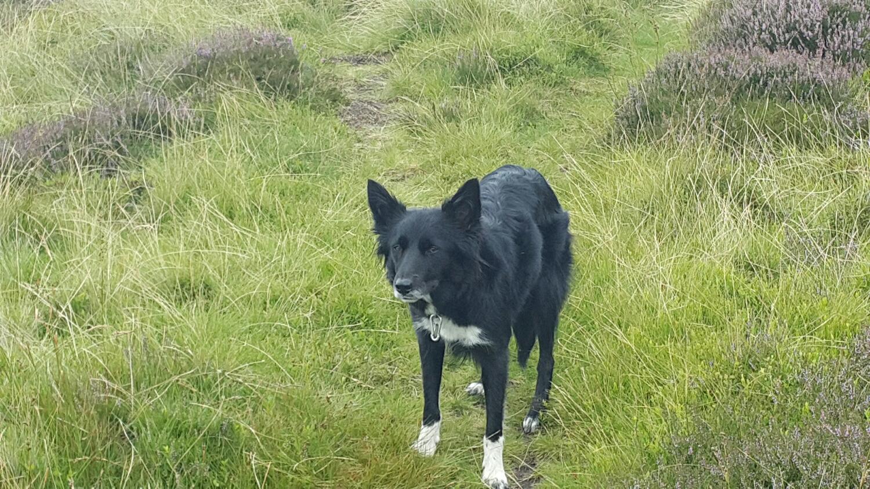 Keela the sheep dog