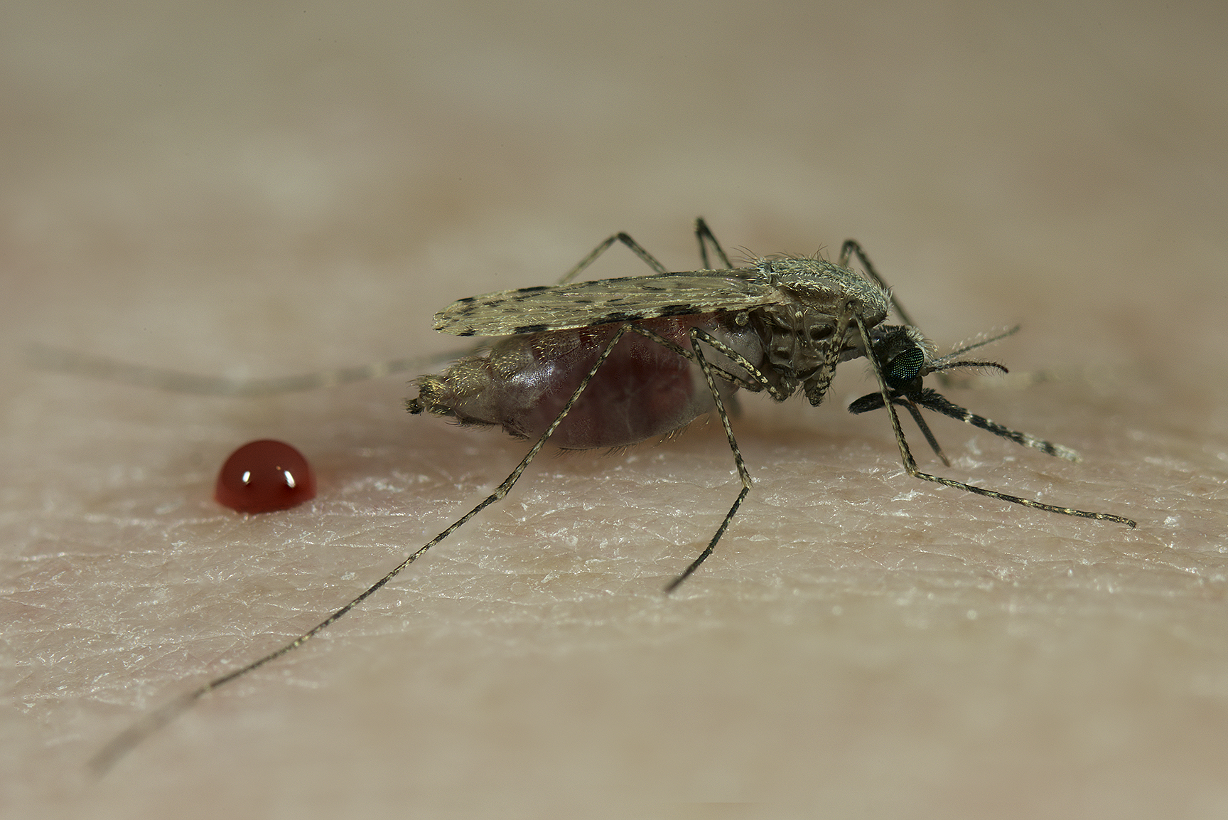 A female Anopheles stephensi mosquito taking a blood meal.   [Sinclair Stammers,  www. micromacro  .co.uk]
