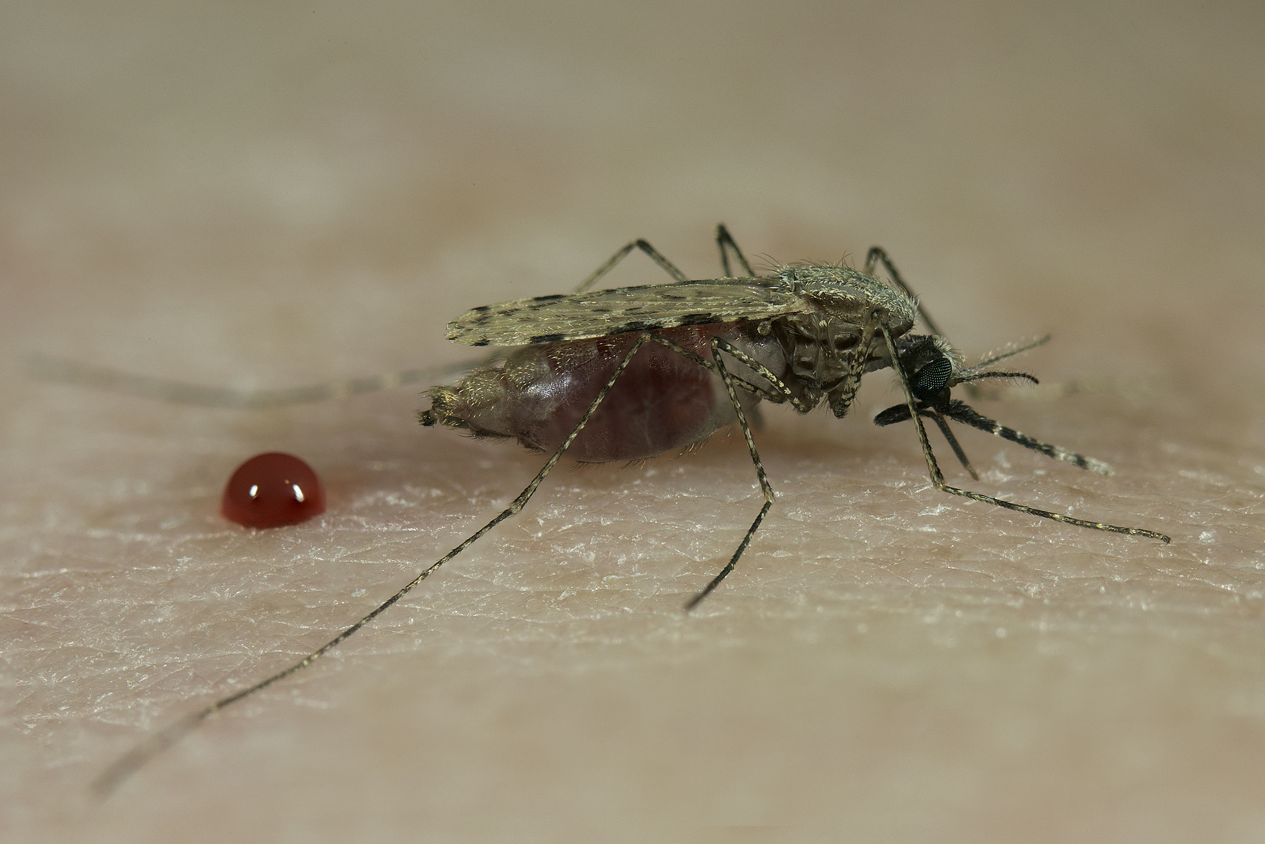 Blood feeding  Anopheles stephensi  - (Credit: Sinclair Stammers)