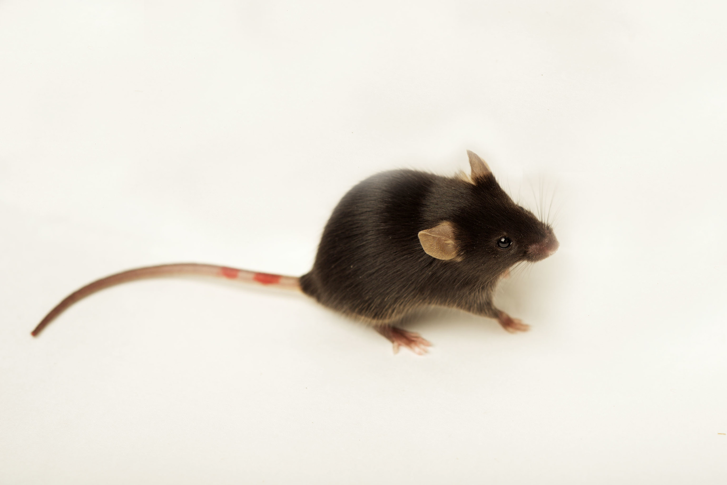 A C57/Bl6 mouse ( Mus musculus ) - frequently used as hosts in our experimental infections. (Credit: Sinclair Stammers)