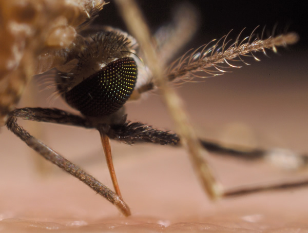 An  Anopheles stephensi  mosquito taking a blood meal. (Credit: Sinclair Stammers)