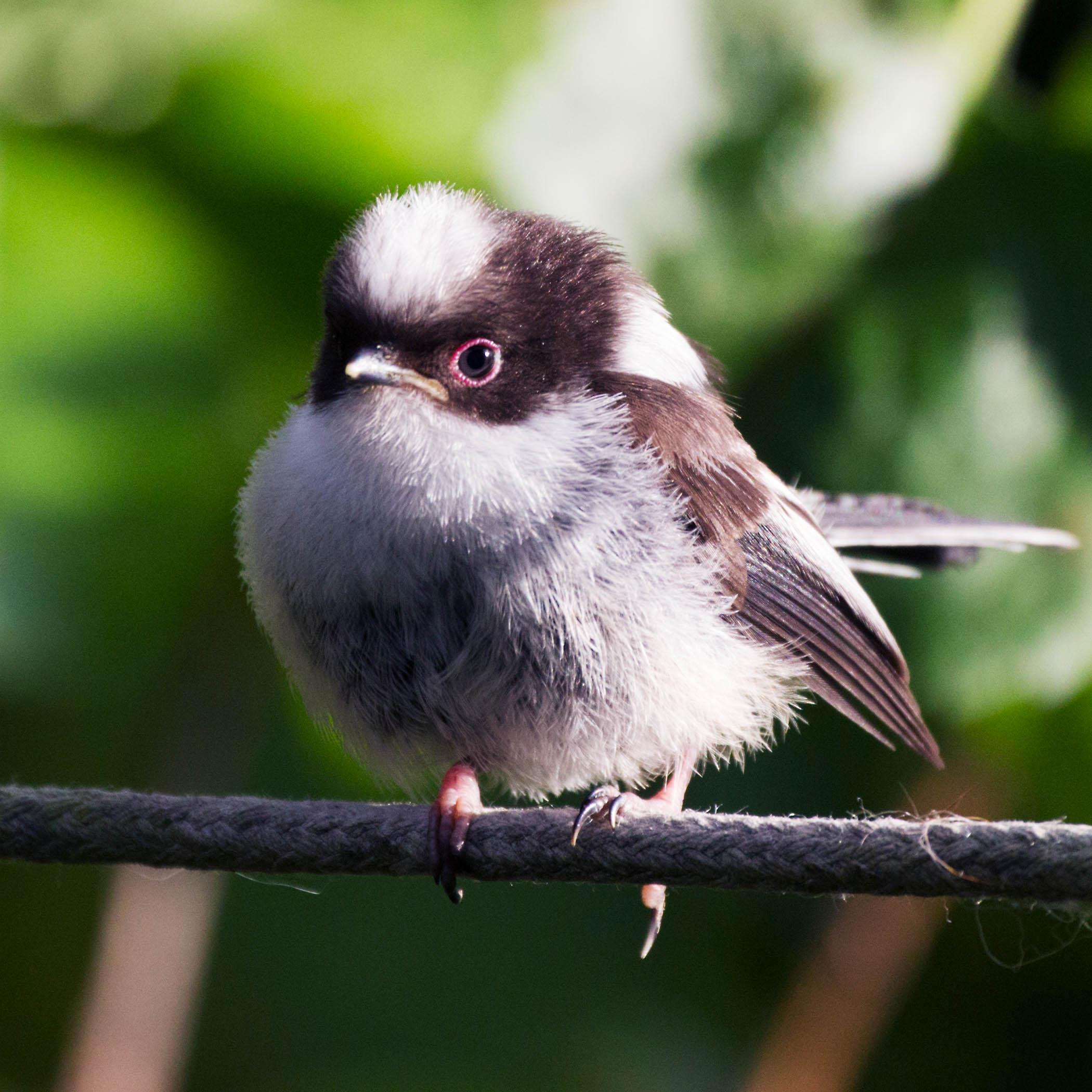 A long-tailed tit. ( Aegithalos caudatus). (C redit: Sarah Reece)