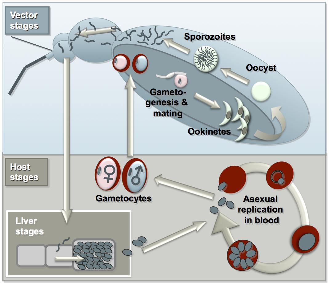 a malária plazmodium aszexuális reprodukciója a férgek maguk elpusztulhatnak