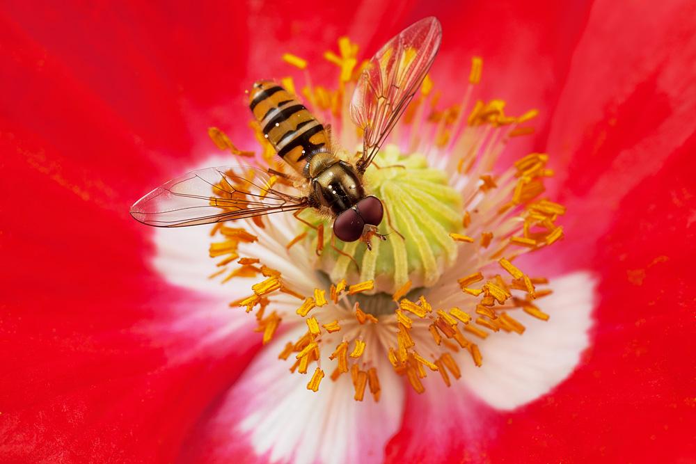 hoverfly_poppy.jpg