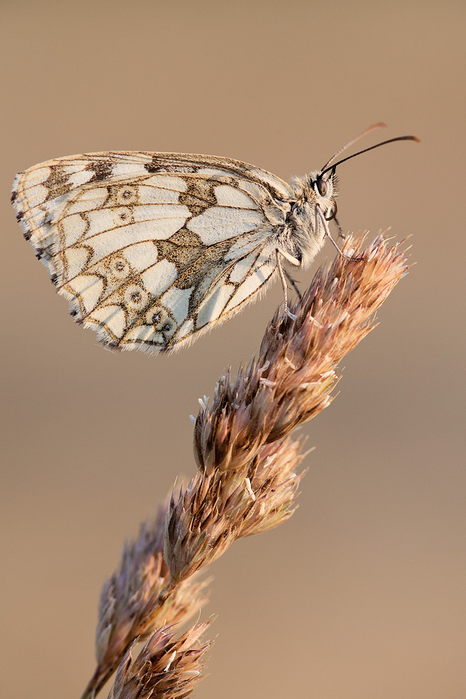 Marbled White