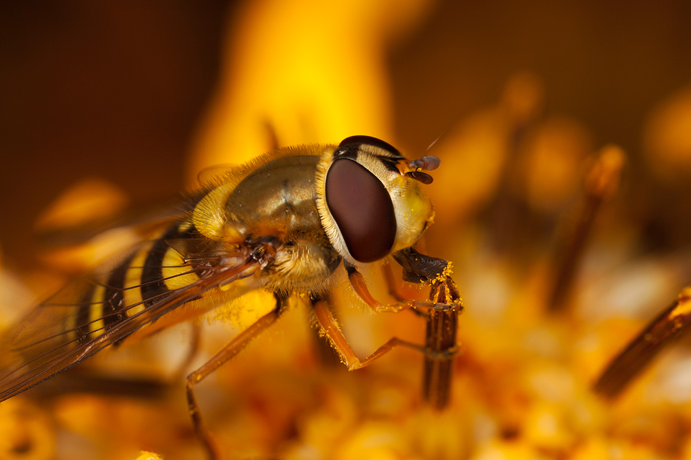 hover_fly_on_flower.jpg