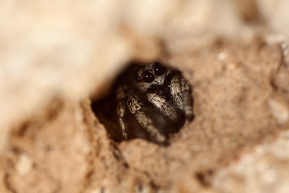 jumping_spider.jpg