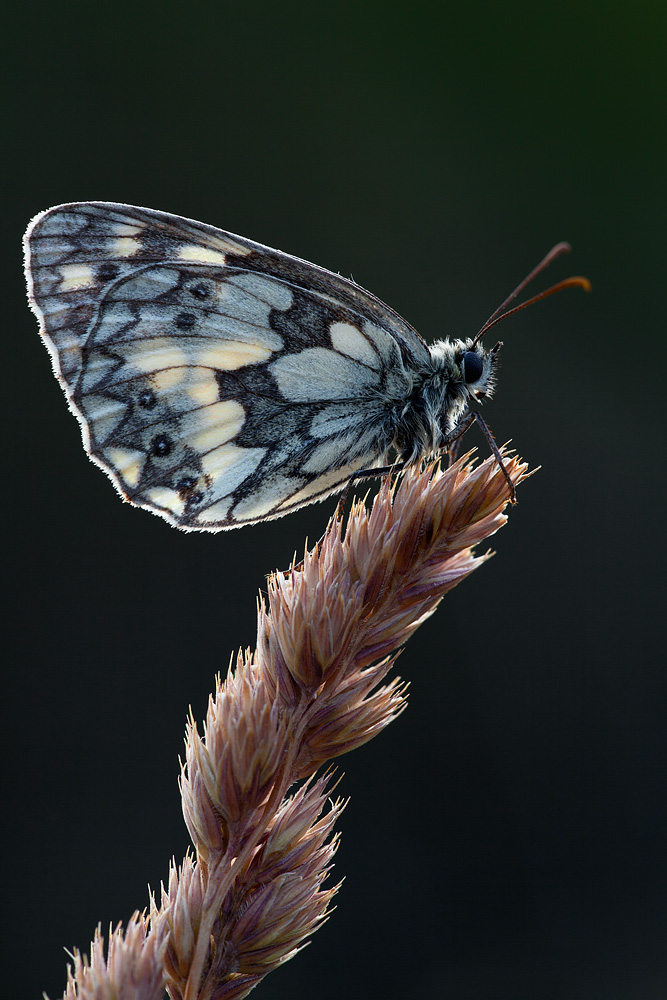marbled_white_backlit.jpg