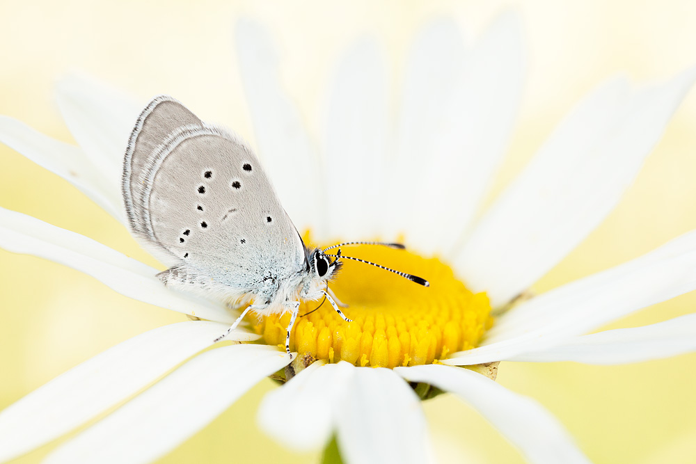 small_blue_on_oxeye.jpg