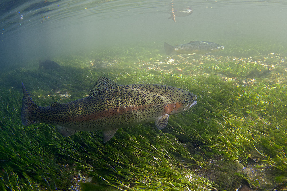 Rainbow trout at 15mm