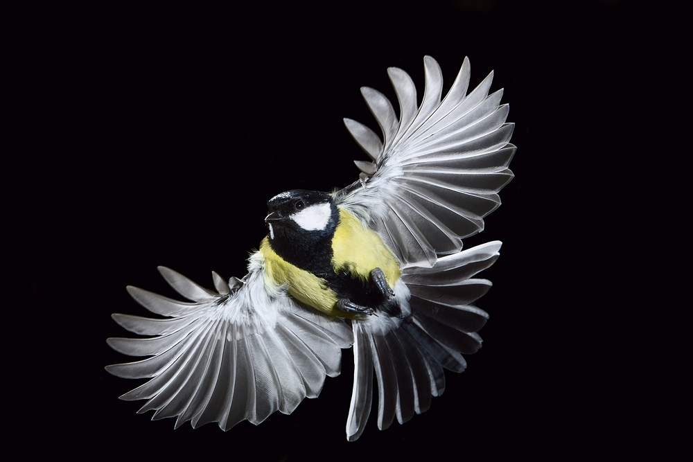 great_tit_flight_lab.jpg