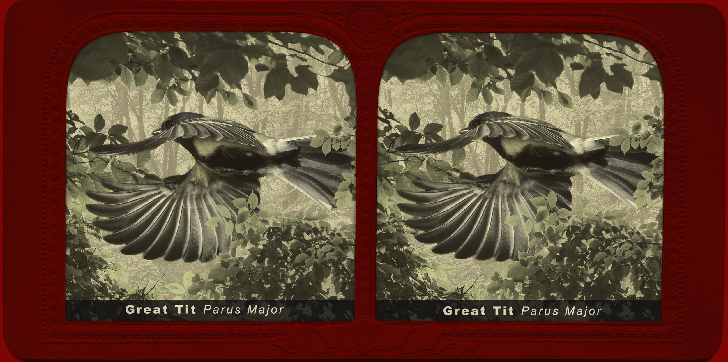 A stereograph showing a great in flight.