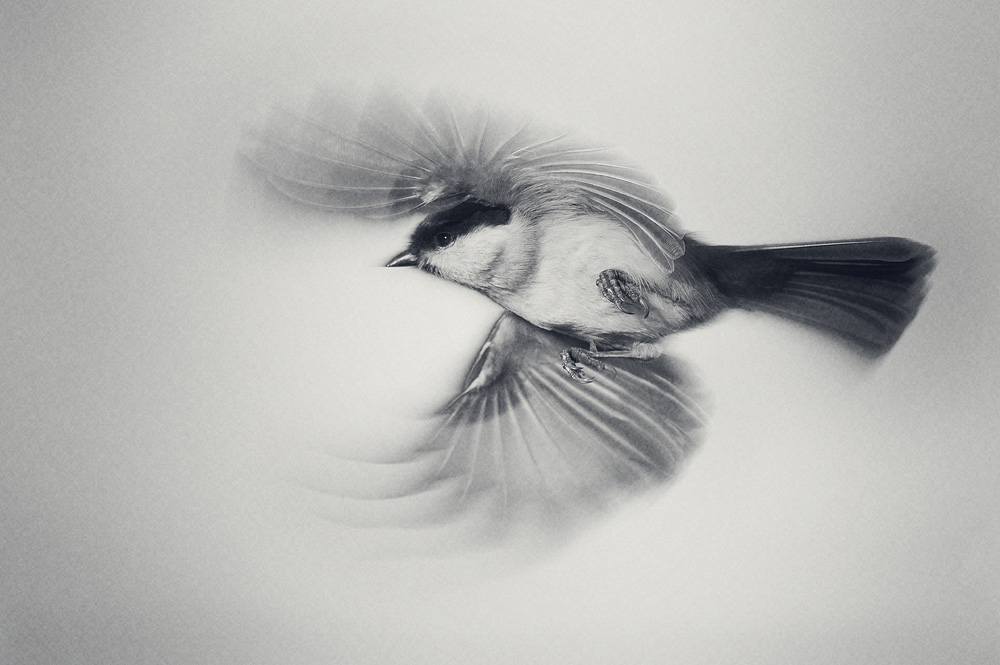 A coal tit in flight, in the style of a charcoal drawing