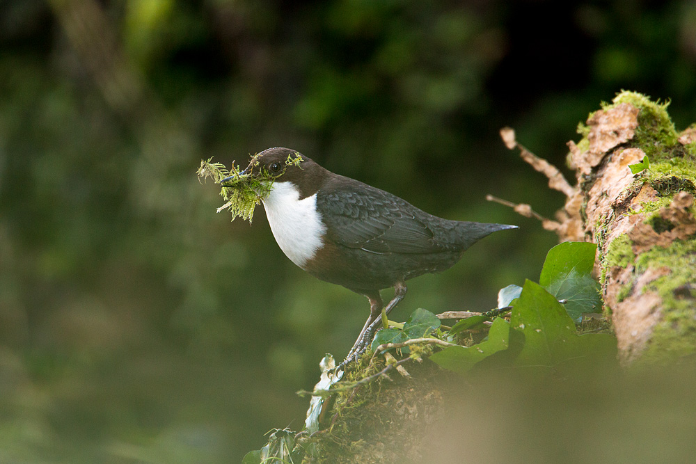 Dipper collecting moss