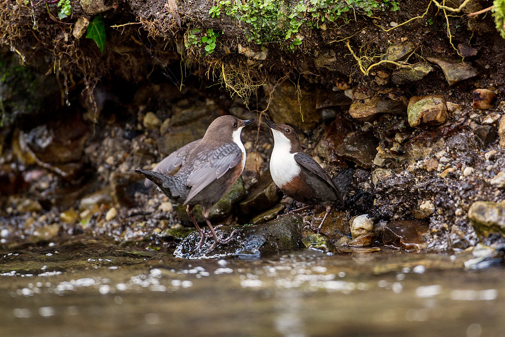 Dipper courtship