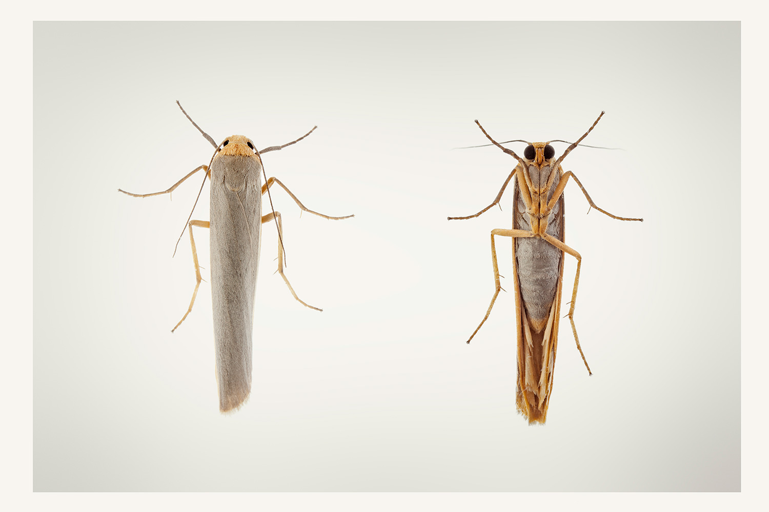 Hoary footman Moth