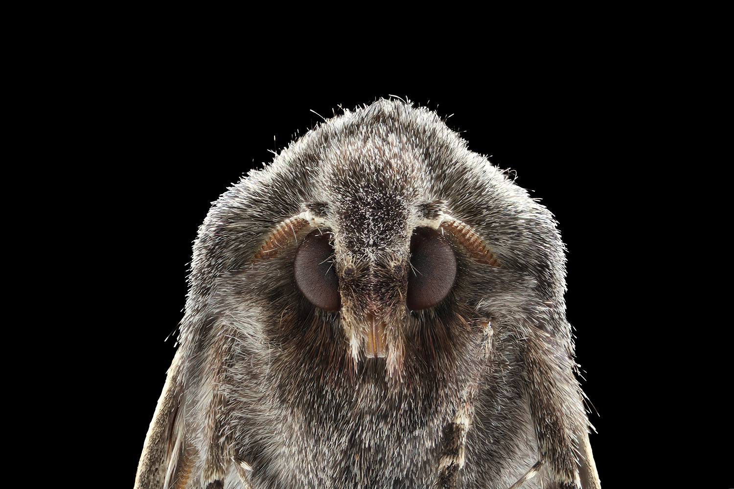 moth_face_plus.jpg