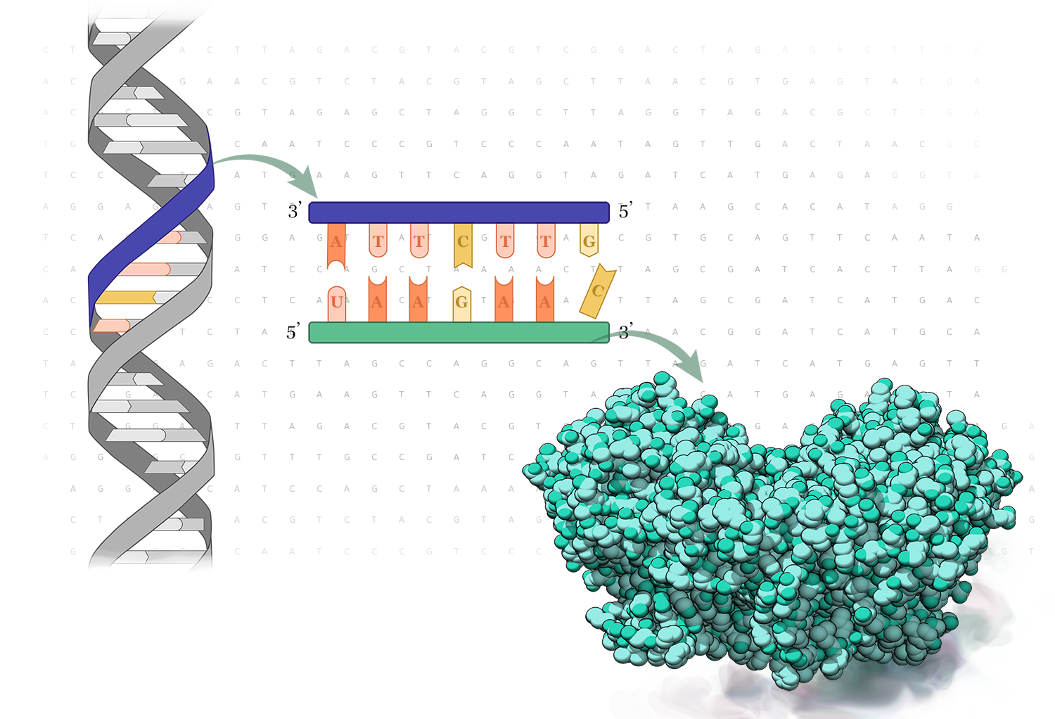 Figure 1.  The central dogma of DNA to mRNA to protein.