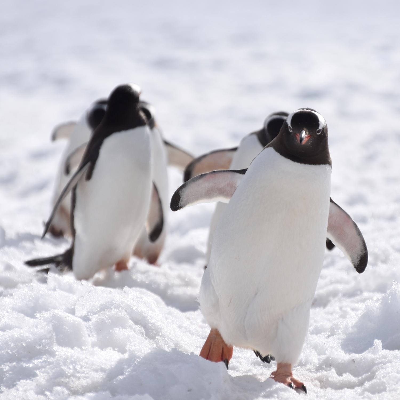 Gentoo penguins, Antarctica 2019