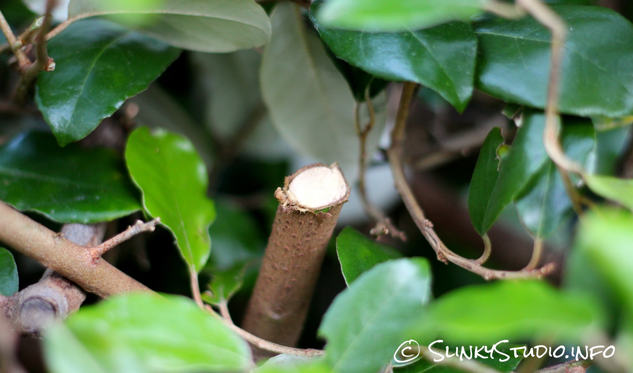 Ryobi One+ Hedge Trimmer Thick Cut Branch.jpg