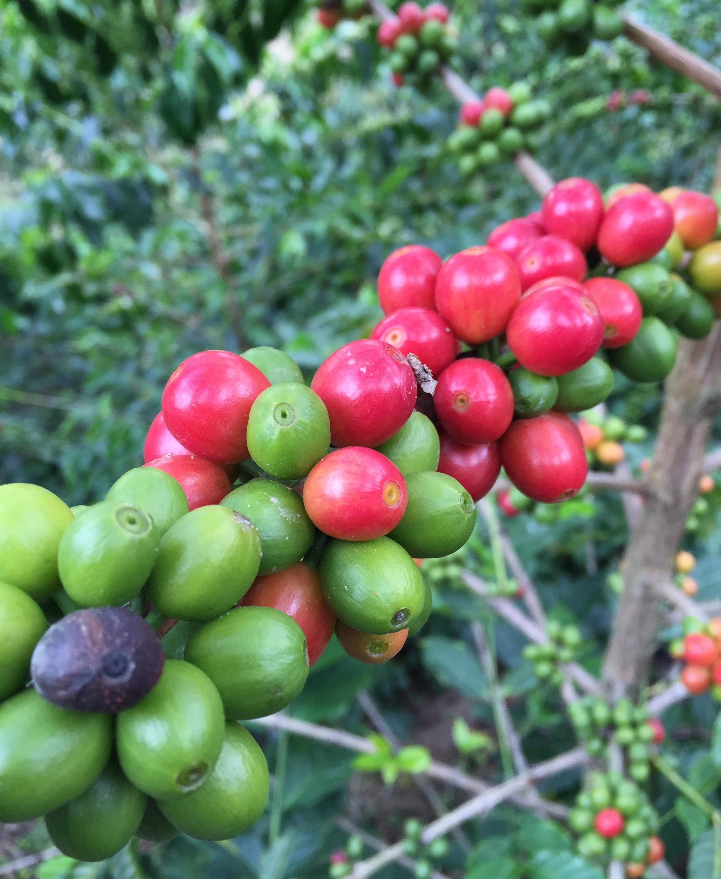 *ripe cherries.JPG