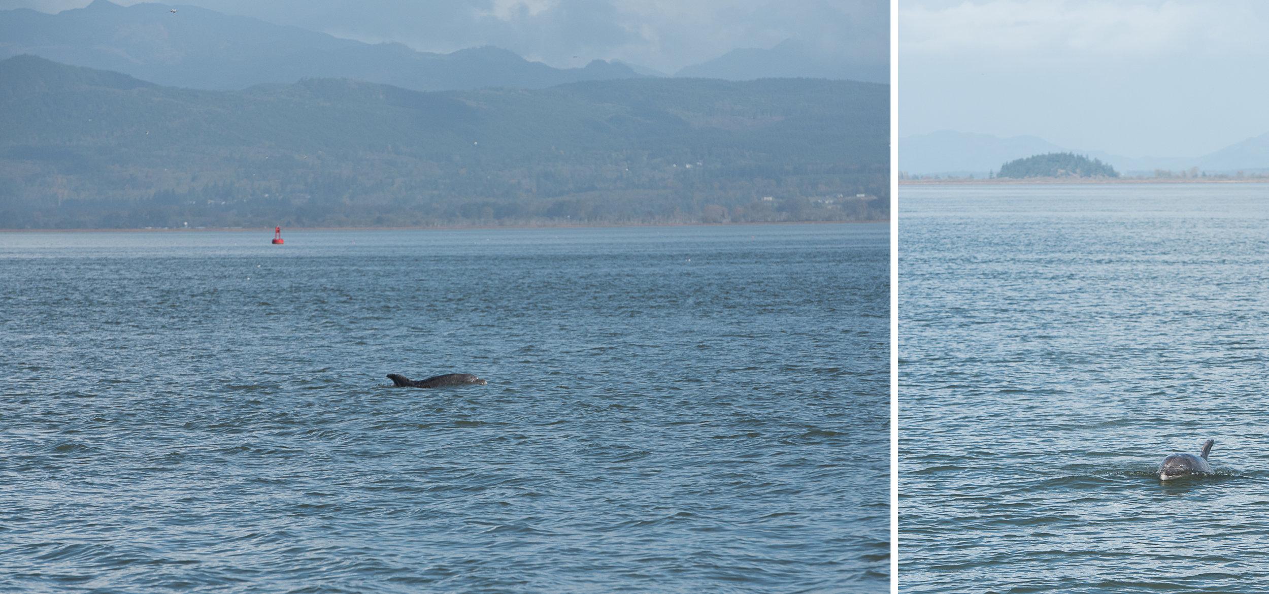 dolphin sighting Anacortes Washington.jpg