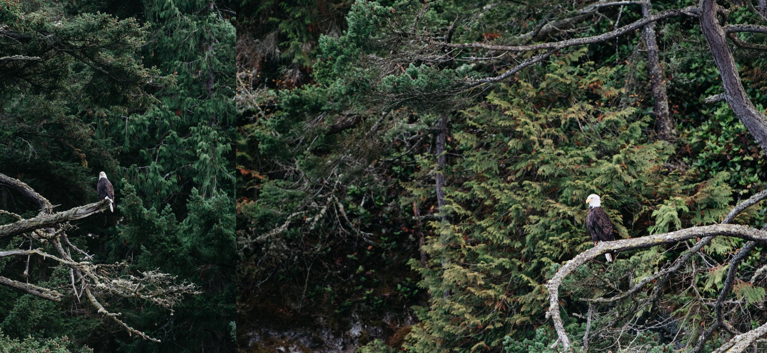 bald eagle anacortes washing travel photography.jpg