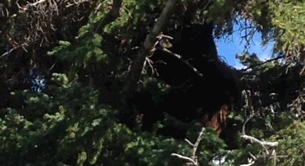 Bear sitting cozy in the tree.