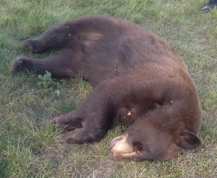 Sound asleep after being sedated. Black bears aren't always black, they can be brown, red, and even blonde.