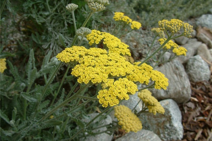Achillea 'Moonshine' -  Small Shrub  ⬈ Reaching a height of 2' and a width of 2'  ☀ Full Sun ☂ Low / Moderate  Gray-green leaves with long-lasting yellow flowers.