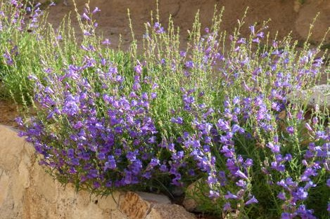 Penstemon heterophyllus -  Small Shrub  ⬈ Reaching a height of 1' and a width of 1' ☀ Full Sun ☂ Low  A perennial with hundreds of one inch violet flowers on three foot spikes.