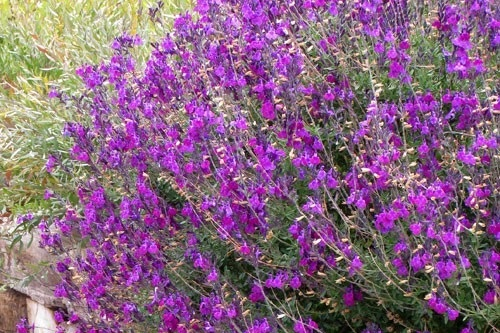 Salvia greggii -  Small Shrub  ⬈ Reaching a height of 3' and a width of 3' ☀ Full Sun ☂ Low / Moderate  An outstanding small evergreen shrub for hot, sunny, low water gardens. Prolific flowers attract hummingbirds over along season. Cut back to a third in late winter every second or third year.