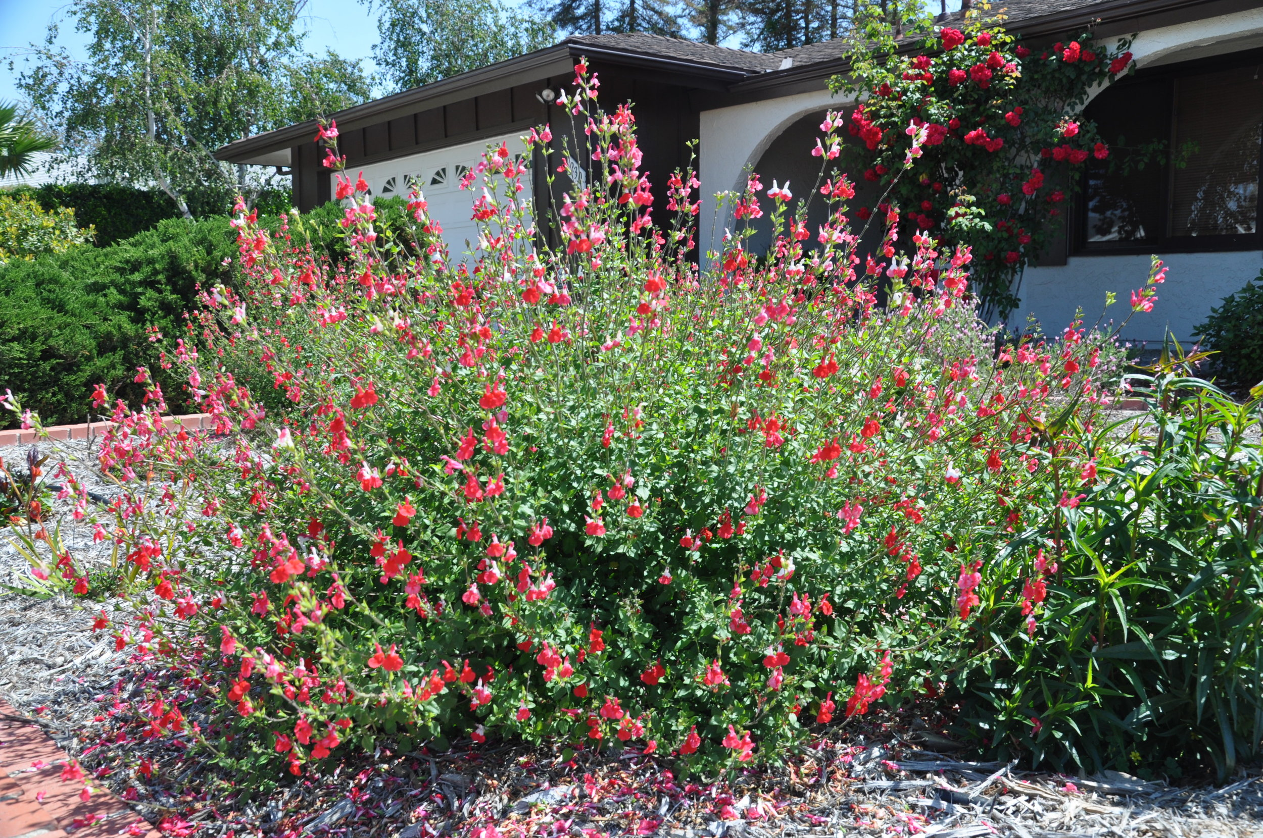 Salvia microphylla 'Hot Lips' -  Small Shrub  ⬈ Reaching a height of 2-3' and a width of 2-3' ☀ Full Sun ☂ Low  A mounding shrub with two-toned flowers backed by very fine green foliage. The blooms appear continuously from summer until fall.