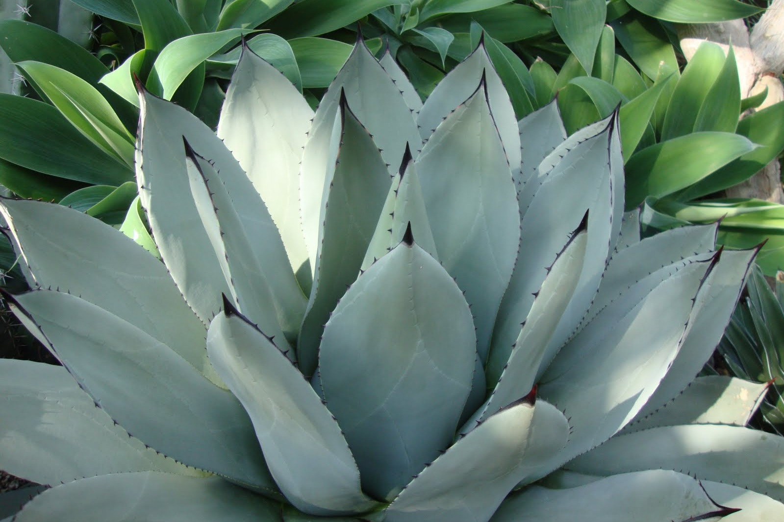 Agave parryi var. 'Truncata' -  Succulent  ⬈ Reaching a height of 2-3' and a width of 3-4' ☀ Full Sun ☂ Low  A compact rosette-forming succulent with broad, short, blue-gray leaves which have prominent reddish-brown teeth and terminal spines.