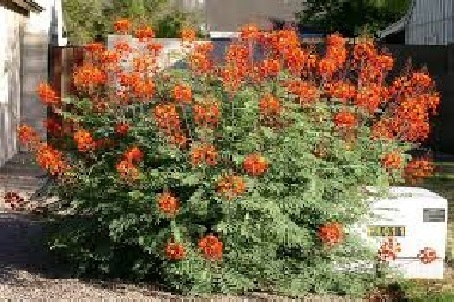 Caesalpinia pulcherrima -  Medium - Large Shrub  ⬈ Reaching a height of 10-20' and a width of 6-12' ☀ Full Sun ☂ Moderate  A fast-growing upright shrub or small tree with a long bloom of bright orange-yellow flowers on prickly branches clad with twice pinnate green leaves.