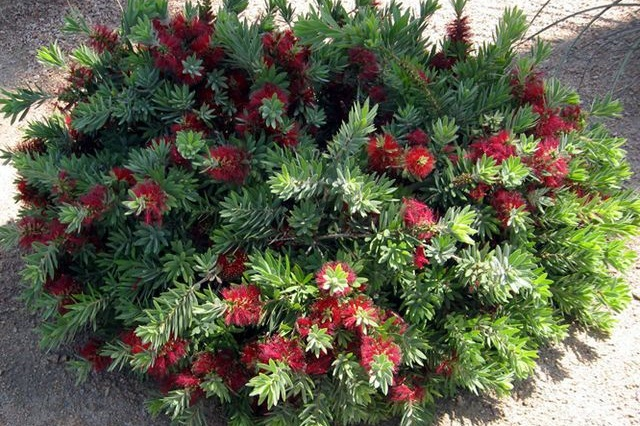 Callistemon 'Little John' -  Medium - Large Shrub  ⬈ Reaching a height of 2-4' and a width of 2-4' ☀ Full Sun / Partial Shade ☂ Low  Blood red, bottlebrush-like flower spikes cover this dwarf evergreen shrub from spring into summer. A densely branched habit with blue-green leaves that have a citrus scent when crushed. Summer prune to shape after flowering.