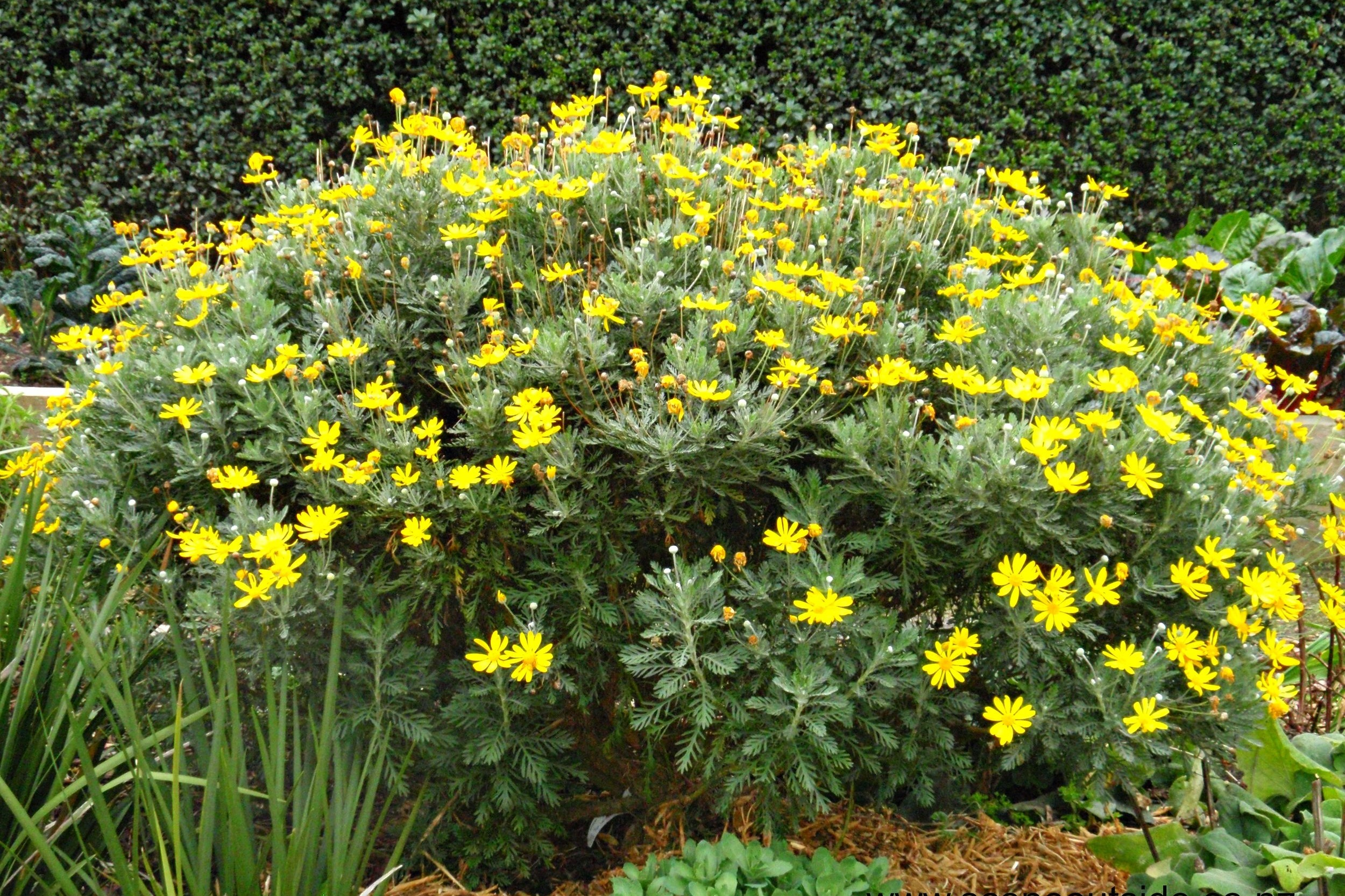 Euryops pectinatus -  Medium - Large Shrub  ⬈ Reaching a height of 3-6' and a width of 3-6' ☀ Full Sun ☂ Low / Moderate  An upright shrub of green leaves with deeply incised margins creating thin feathery lobes. The bright yellow daisy flowers rise individually on long stalks from branch tips and flowers almost continuously with peak blooms winter into spring.