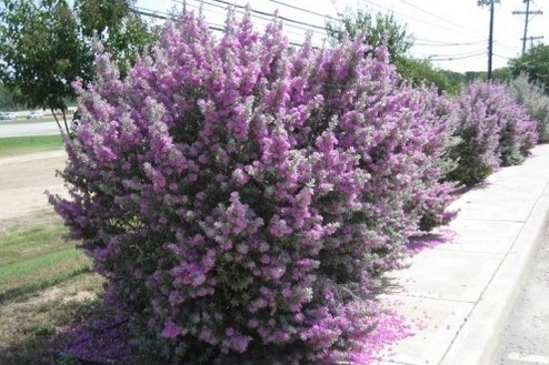 Leucophyllum frutescens   -  Medium - Large Shrub  ⬈ Reaching a height of 5-8' and a width of 4-6' ☀ Full Sun ☂ Low / Moderate  A compact silver leaf bush with small, tubular purple flowers.