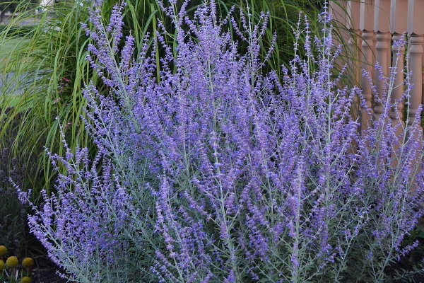 Perovskia atriplicifolia -  Medium - Large Shrub  ⬈ Reaching a height of 3-5' and a width of 2-4' ☀ Full Sun ☂ Low / Moderate  A woody-based perennial of the mint family with romatic, gray-green leaves on stiff, upright, square stems and whorls of tubular, light blue flowers.