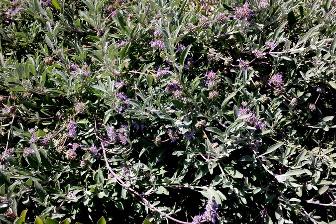Salvia 'Bee's Bliss' -  Medium - Large Shrub  ⬈ Reaching a height of 1-2' and a width of 6-8' ☀ Full Sun ☂ Low  A native California shrub growing low to the ground with an extended bloom of whorls of lavender-blue flowers on long spikes from mid-spring into early summer, rising above the gray-green leaves.