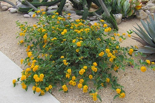 Lantana 'New Gold' -  Groundcover  ⬈ Reaching a height of 1' and a width of 3' ☀ Full Sun ☂ Low  Brilliant golden yellow flower clusters cover this colorful, heat-loving perennial from spring to fall. Trailing growth is excellent for use as groundcover or tumbling from hanging baskets. Control weeds with mulch until plants ll in. Prune back in Spring.