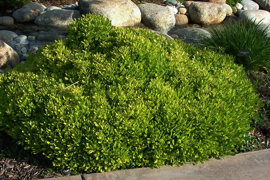 Pittosporum tobira 'Wheelers Dwarf' -  Groundcover  ⬈ Reaching a height of 2-3' and a width of 5' ☀ Full Sun / Partial Shade ☂ Low / Moderate  A dwarf, rounded shrub of dense, compact growth and glossy evergreen foliage. Occasionally produces small orange blossom-scented flowers.