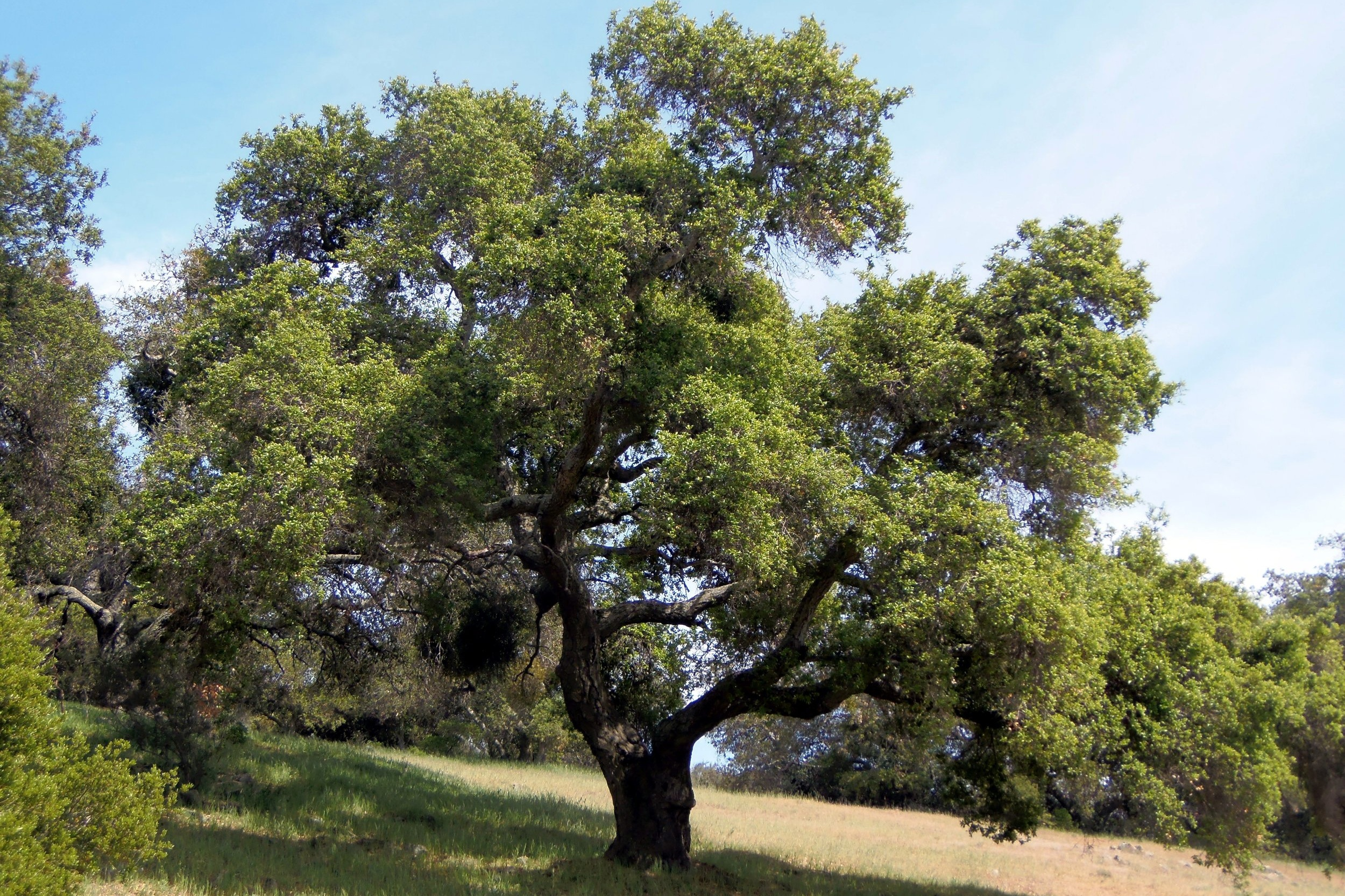 Quercus agrifolia -  Tree  ⬈ Reaching a height of 40-60' and a width of 40-50' ☀ Full Sun ☂ Low  A water efficient, evergreen tree of open-grown and broad crowns with foliage often reaching the ground.
