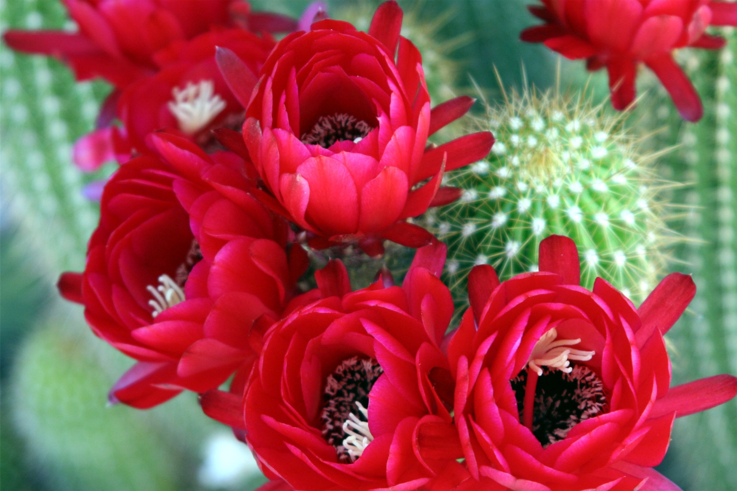 Cactus Reds.jpg