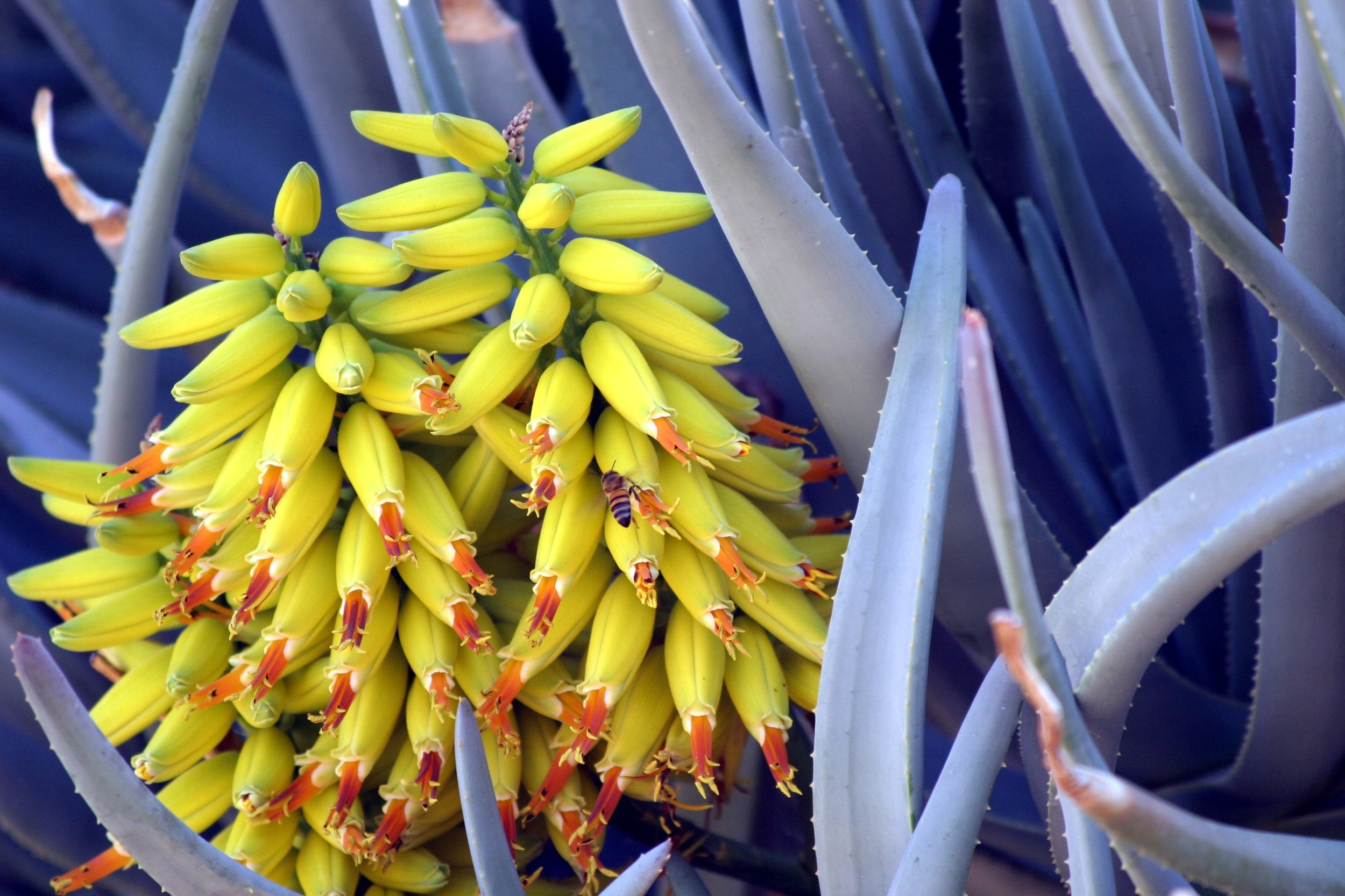 Aloe Tree Flowers and Bee.JPG