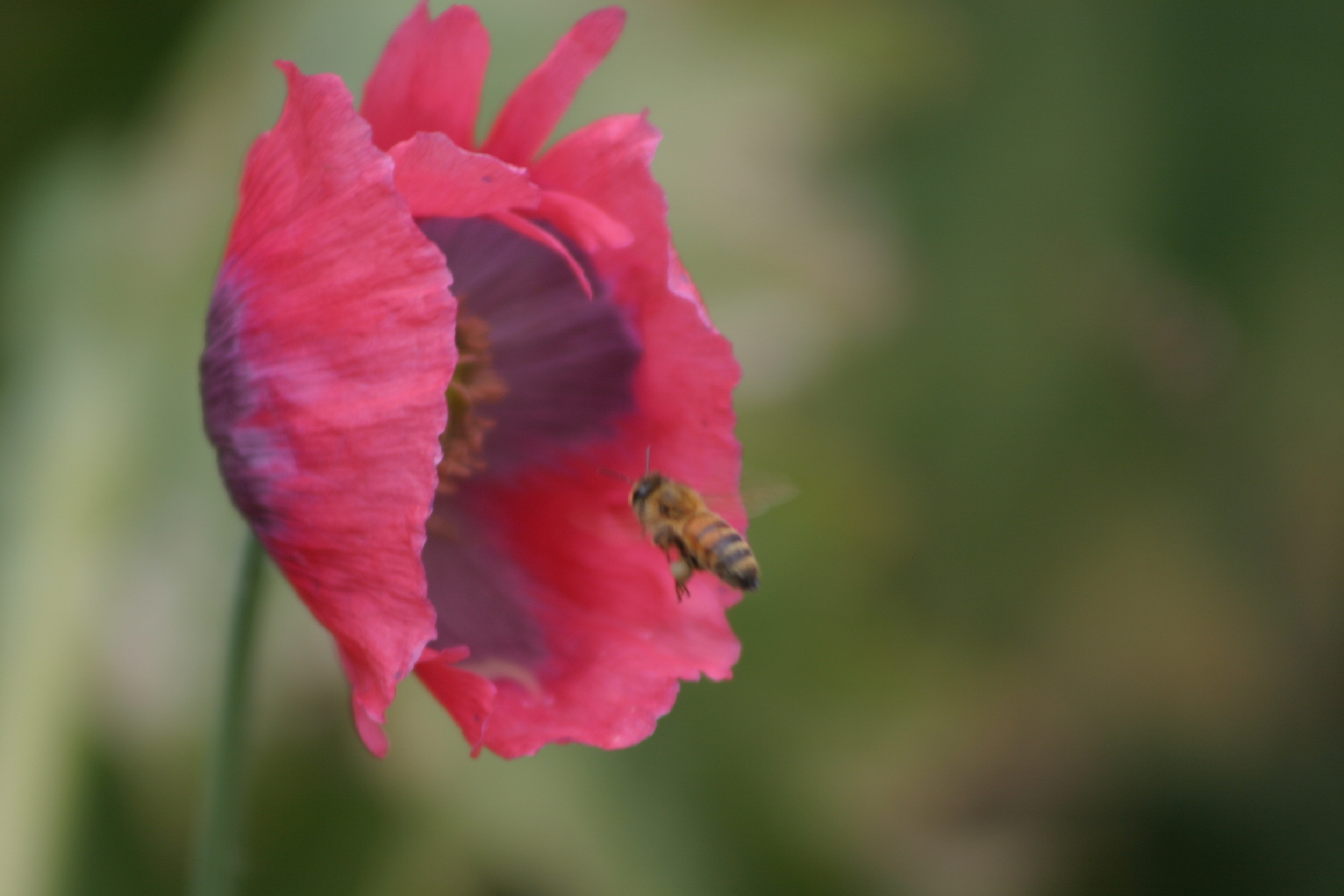 Bee Approaching Poppy.jpg
