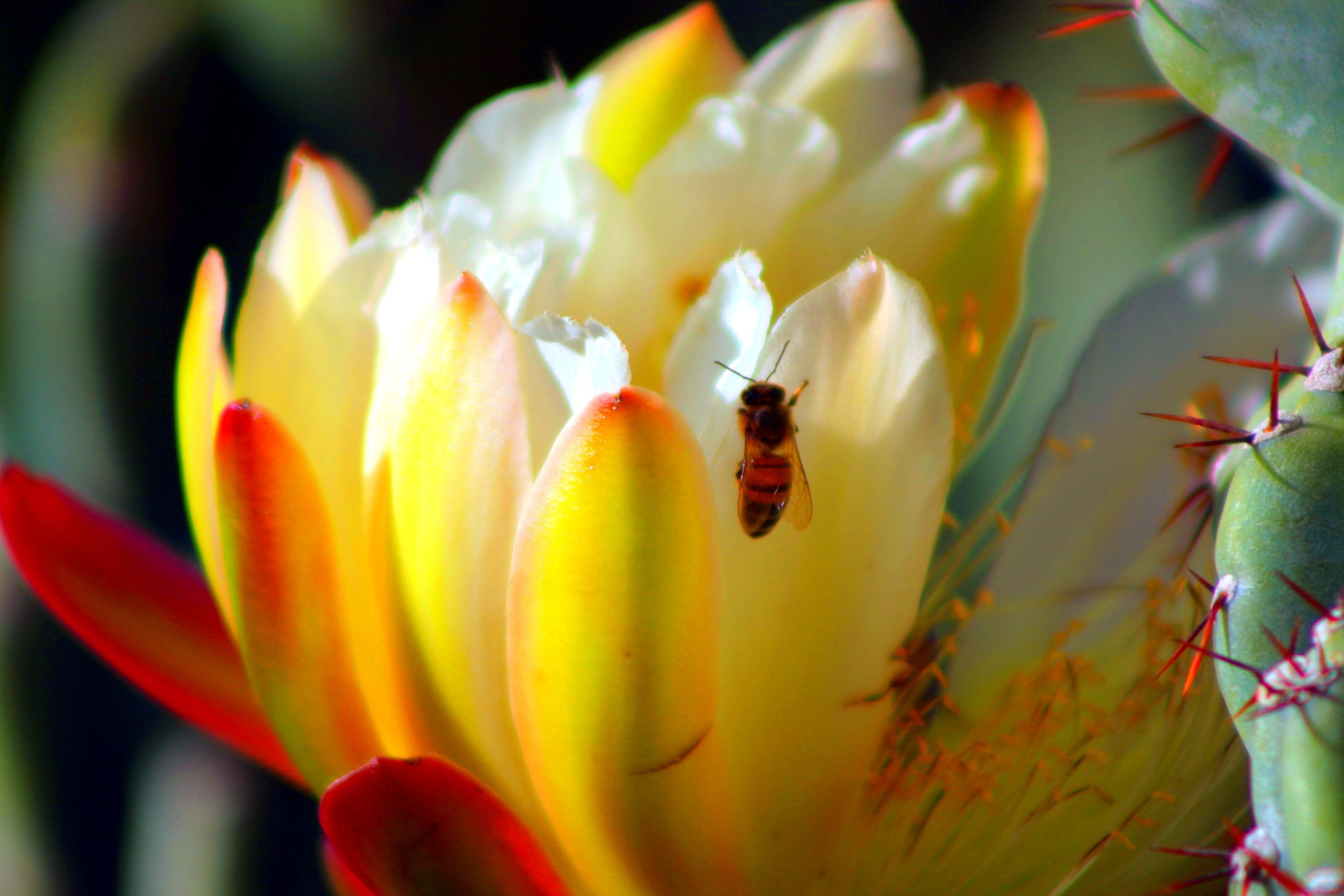 Cereus with Bee.jpg