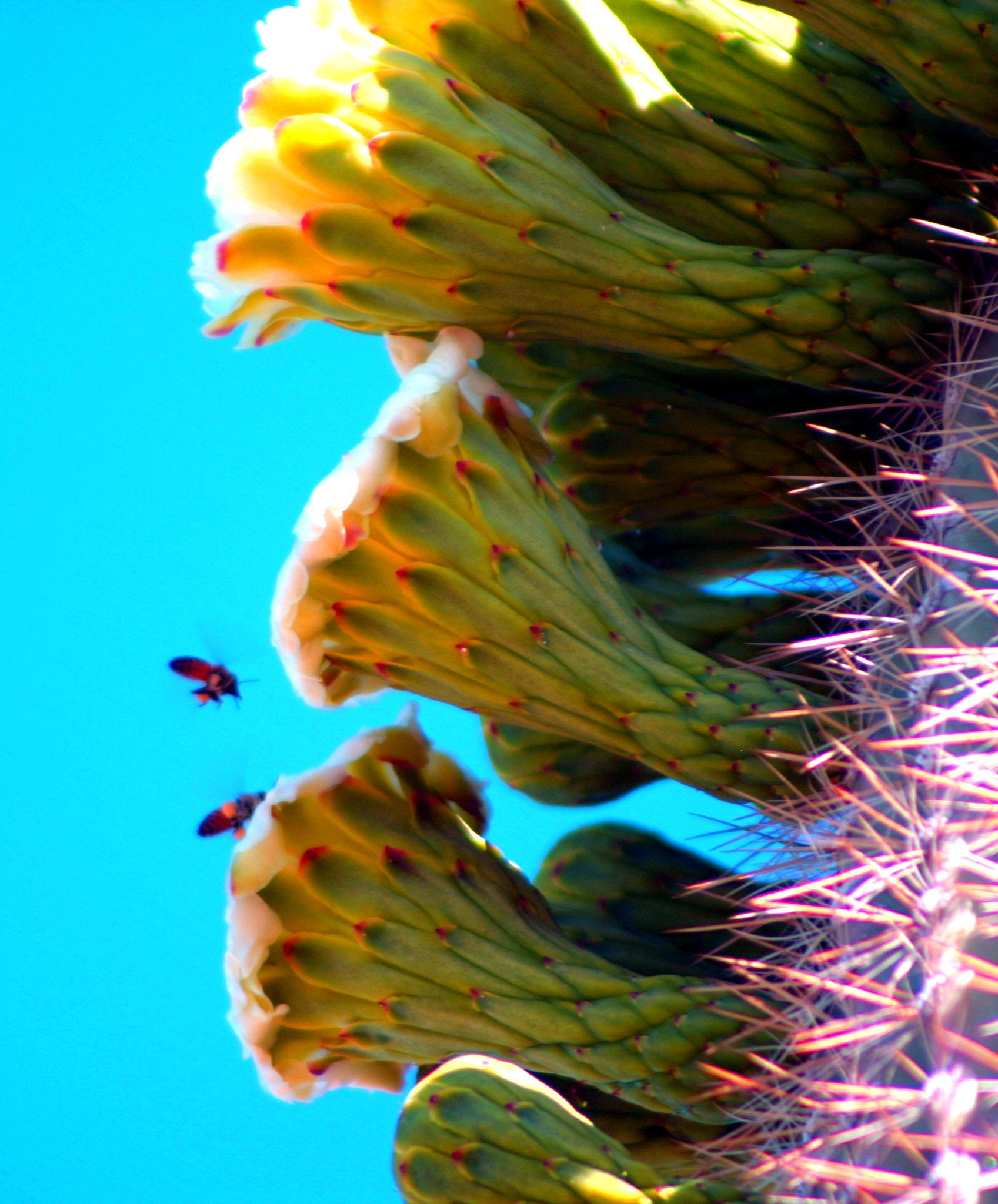 Hot Saguaro Blossoms with Bees.JPG